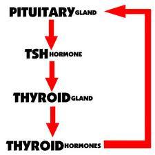 The Thyroid Feedback Loop
