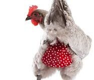 chicken with diaper