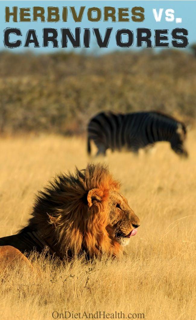 lion possibly stalking zebra in field