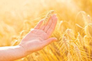 Pound-up Spraying on Wheat Field