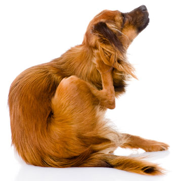 Diet can affect how attractive your pet is to fleas!