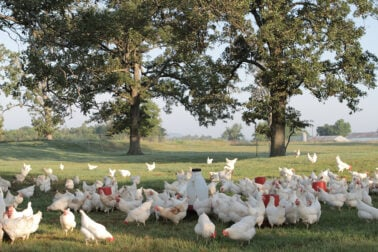free range chickens at Vital Farms