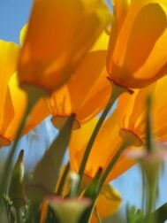 California Poppies are herbs for anxiety and sleep. Great for kids too.