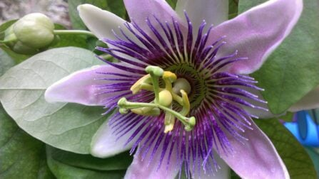 Passion Flower herbs for anxiety, sleep and calming